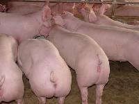 黑猪价格批发黑猪