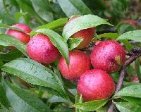 今日油桃供应价格
