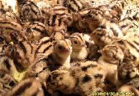 符草楼老冢哪里有山鸡养殖场野山鸡蛋出售