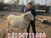 2016小尾寒羊价格多少