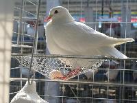 种鸽养殖种苗、美国香鸽养殖致富