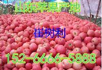 品质山东红富士苹果