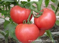 山东西红柿批发价格西红柿批发基地