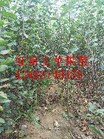 河北省苹果苗种植基地