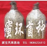 天麻密环菌批发,猪苓蜜环菌价格,菌种