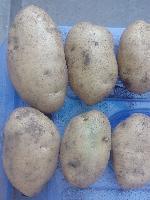 马铃薯-226土豆种子