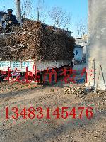 河北省沧州哪里有卖嫁接核桃苗的