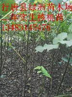 河北省核桃苗价格