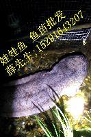 2016娃娃鱼多少钱一斤,人工养殖娃娃鱼怎么养殖