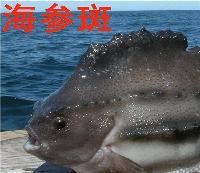 海参斑鱼 北极冰岛进口 新鲜冷冻斑鱼