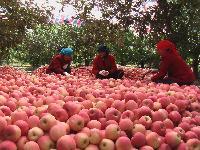 山东红富士苹果什么价格?最新山东省红富士苹果批发价格