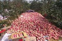 2017年最新【全国红富士苹果价格】总结分析