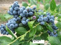 出售建园蓝莓苗、四季树莓苗、紫莓苗、紫树莓苗、大果草莓苗