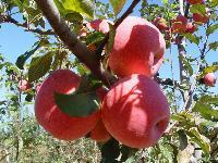 最新山东红富士苹果价格行情