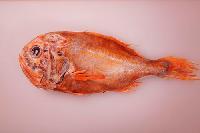 进口海鲜 新西兰长寿鱼 富贵鱼