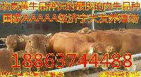 优质的肉牛品种