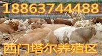 西门达尔公牛种价钱