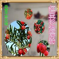 红豆杉粉 药食同源 西安千草   订购须知 【包装方式】