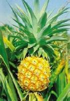 百思特菠萝蛋白酶生产厂家