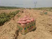 山东地瓜价格今日产地山东红薯收购价格