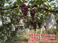 葡萄苗培育基地种类多,品种全,成活率高!