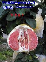 红肉蜜柚苗无籽高产新品种