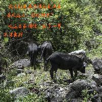 藏香猪肉500g真空包装包物流(纯野牧放养)