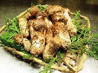 野生鲜松茸500g冷链包物流(香格里拉腹地)