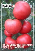 欧斯帝抗TY粉果番茄种子-荷兰番茄种子