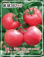 欧冠302F1粉果番茄种子-抗TY硬粉番茄种子