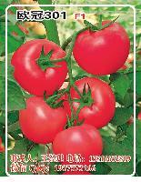 欧冠301F1番茄种子-高产抗病西红柿种子