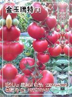 金玉瑞特大红果番茄种子,石头大红果番茄种子