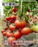 荷兰硬粉F1番茄种子—番茄种子批发