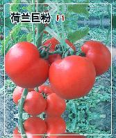 荷兰巨粉F1硬粉番茄种子—早熟大果西红柿种子