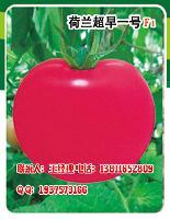 荷兰超早一号F1番茄种子—早熟粉果番茄种子