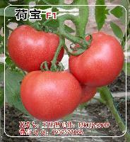 荷宝F1大粉果番茄种子—大硬果西红柿种子