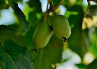软枣树苗|软枣猕猴桃苗