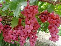 葡萄新品种 火焰无核 金手指 巨玫瑰 红提 等果树苗 批发