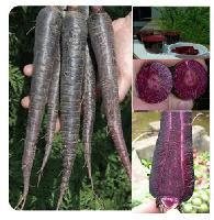 紫胡萝卜种子
