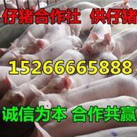 外三元猪养殖批发外三元猪