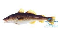 挪威进口鳕鱼
