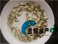 出售宝石鲈鱼苗/澳洲宝石鲈鱼苗/全国发货