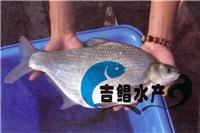 供应三角鲂鱼苗,武昌边鱼苗,鳊鱼苗批发