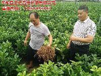 重庆大三红蜜柚苗,大三红柚子苗哪家好,平和正达蜜柚有限公司