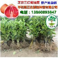 三红蜜柚苗产地价 贵州仁怀优质的大三红蜜柚苗