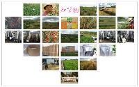 葡萄籽提取物  提取原花青素OPC