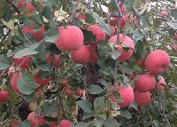 红富士苹果行情