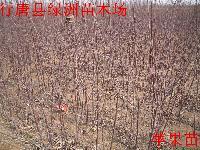2016年河北省果树苗价格