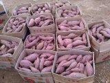 山东红薯产地