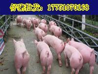 小仔猪多少钱一斤猪仔现在价格